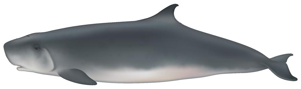 Dwarf Sperm Whale (kogia sima)