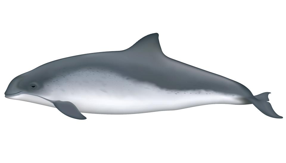 Harbor Porpoise (phocoena phocoena)