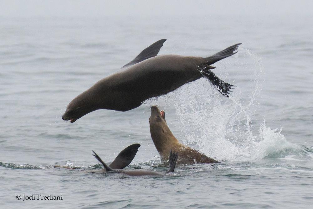 Sea_lions_3V2A0895ACS.jpg