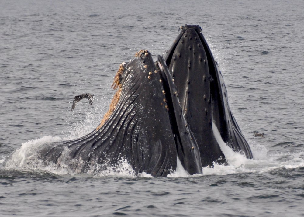 Lunge feeding humpback whales, photo by Gail Koza