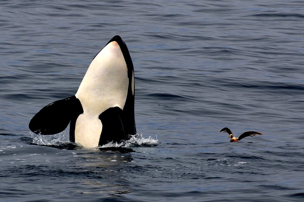 spyhopping killer whale - photo by Blue Ocean Whale Watch