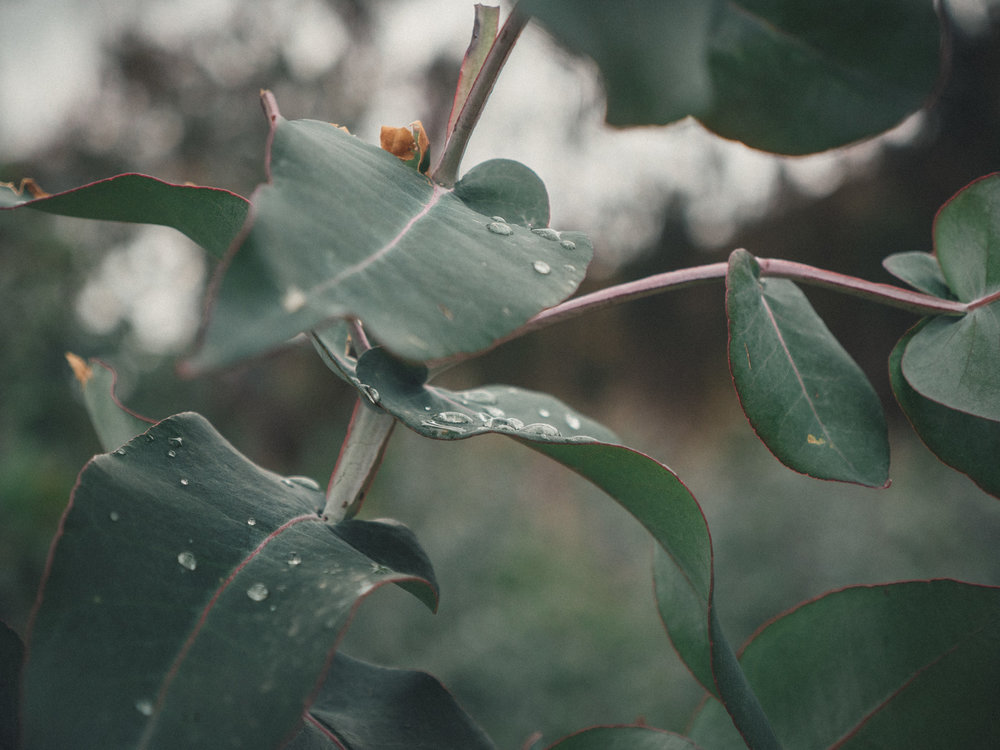 The fresh smell of Eucalyptus will be one of my strongest memories of Ecuador and Peru.