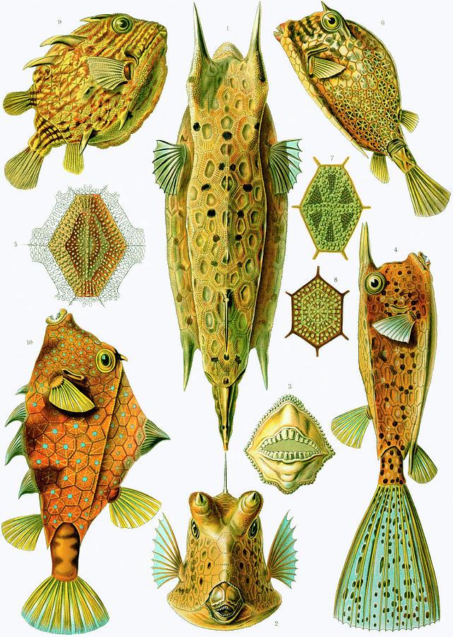ostraciontes-boxfish-ernst-haeckel.jpg