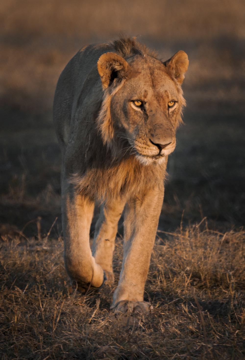 lioness_walk-1.jpg