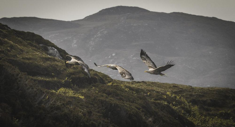 3_White_tails_flying-1.jpg