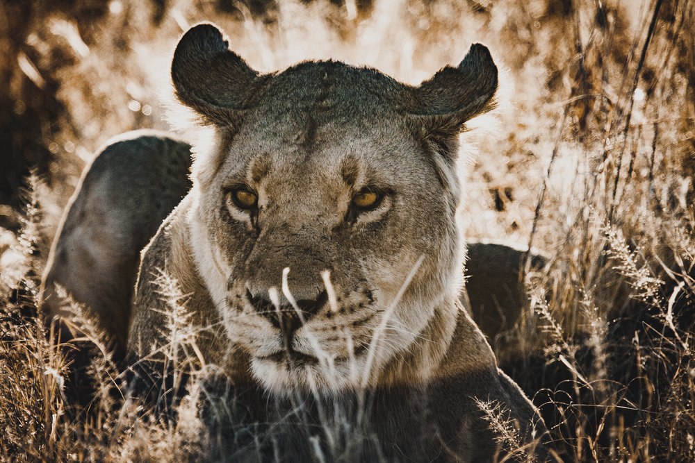 Backlit lioness. It was spring in the Okavango when I captured this image. The sun was catching in the grass, having just dried the dew, and was backlighting this lioness, bringing out her character and the atmosphere.