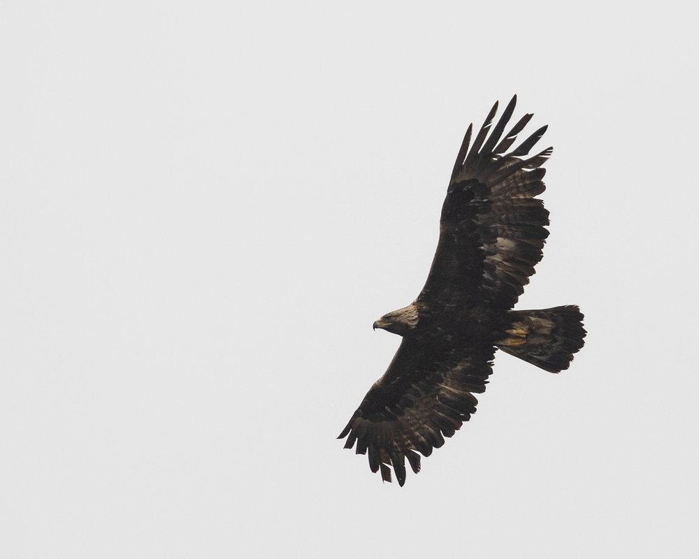 Goldie_flying-1.jpg