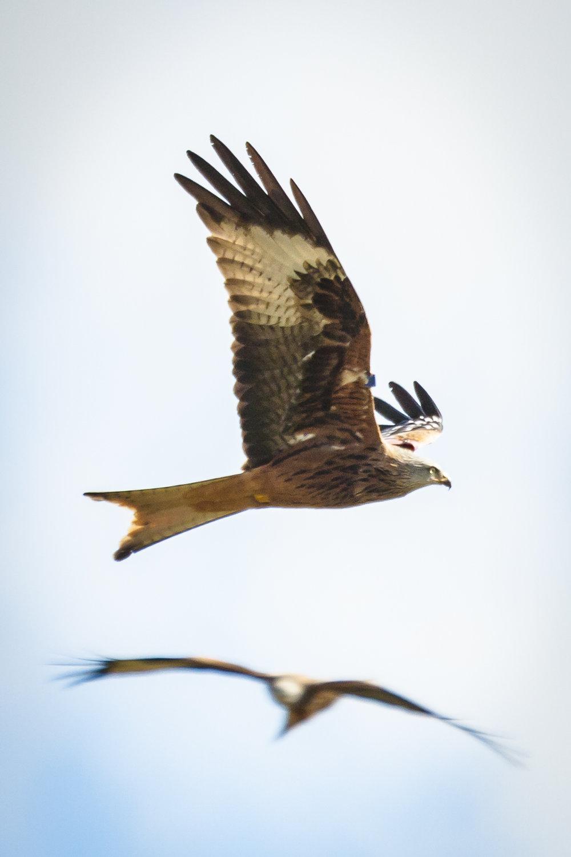 Red_kites-1.jpg