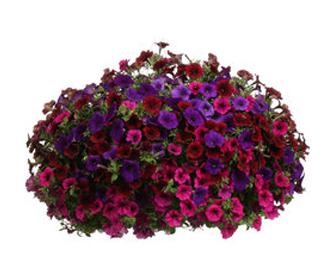 Mabou Gardens Hanging Basket 4.jpg