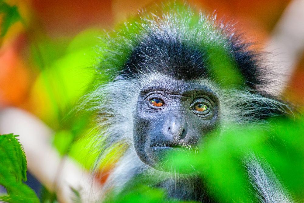 Colobus Monkey - Kenya