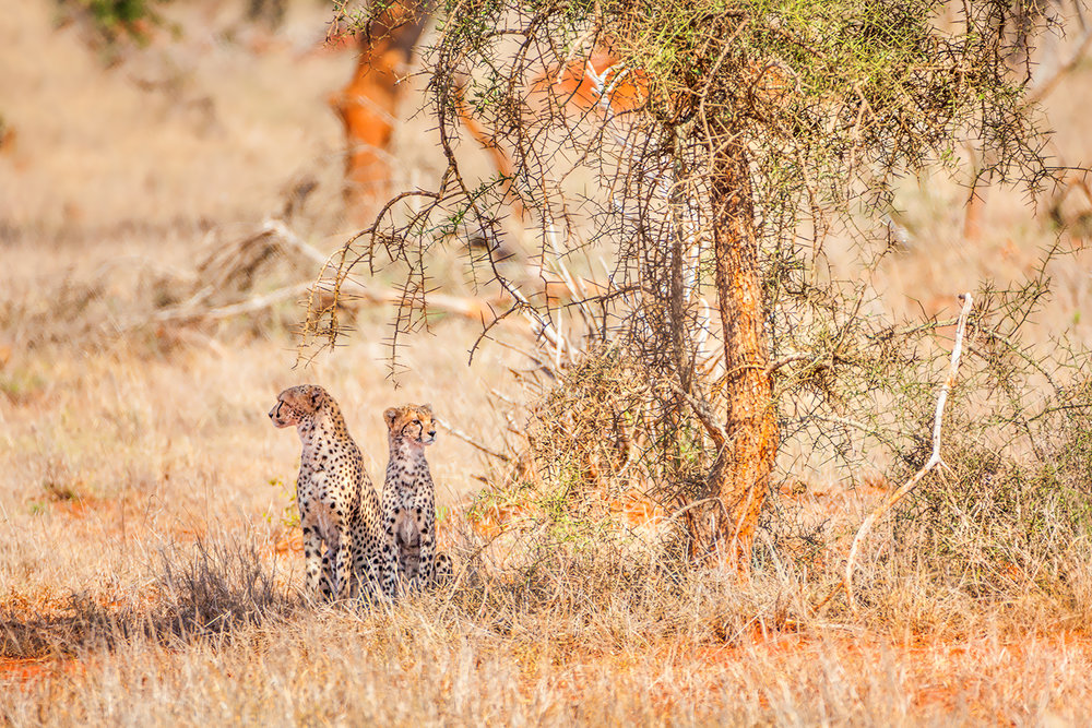 Cheetahs at Lumo Community Wildlife Sanctuary - Kenya