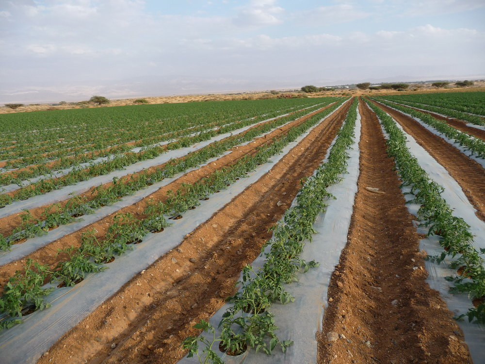 Arava Valley private farm- field tomatoes grown on clear plastic mulch.JPG