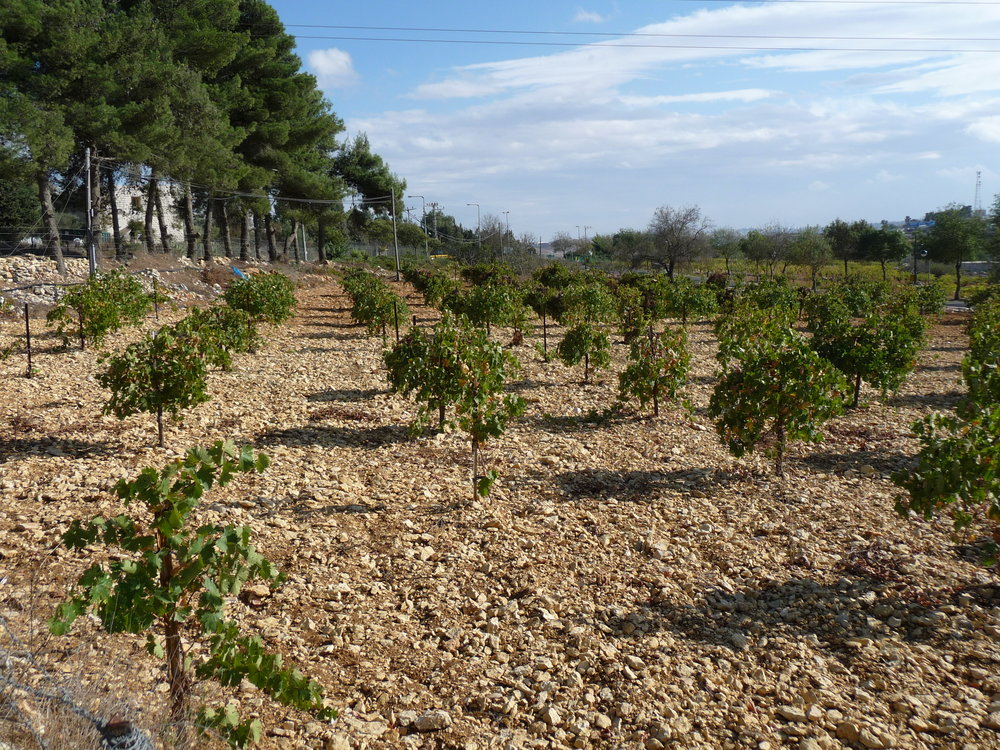 Vineyard planted in rocky soil- Jerusalem area.JPG