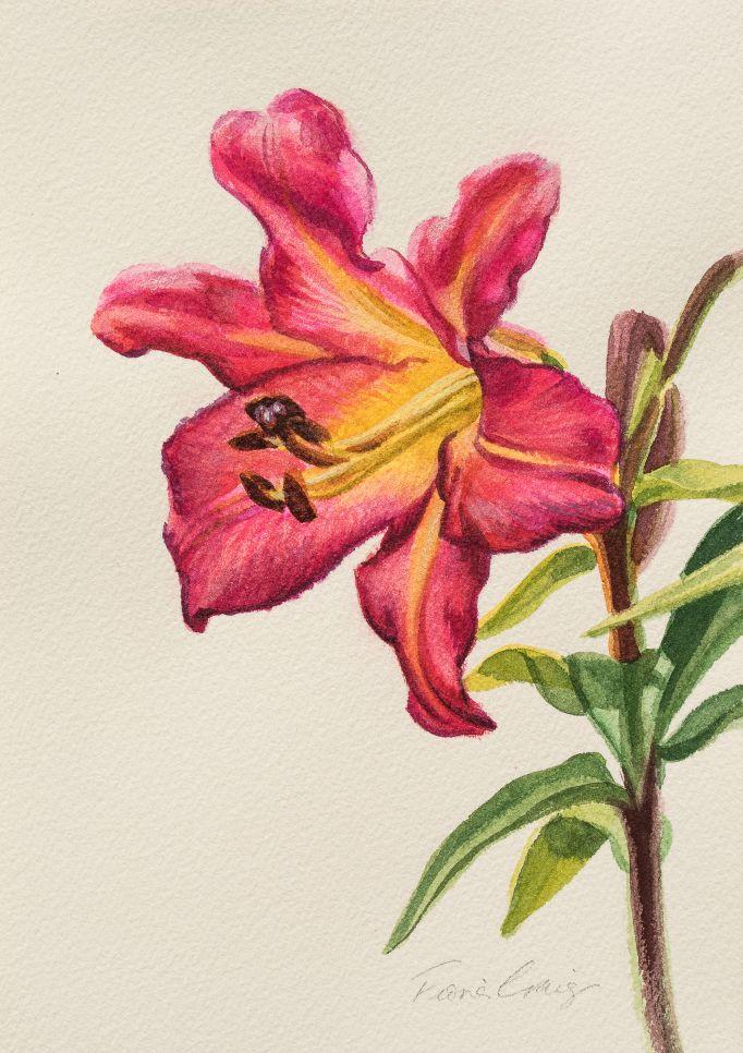 Crimson Lily