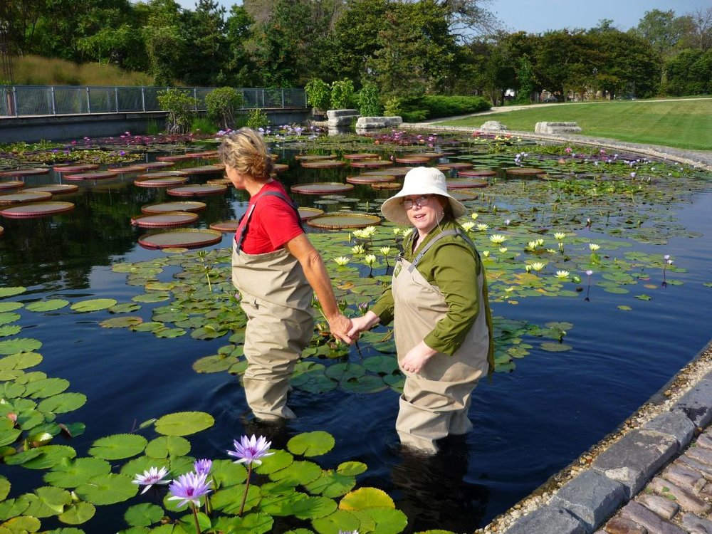 Kathy Cahill lending me a helping hand into the Garfield Park lily pond (does my ... um, everything... look big in this outfit?). Photo by A. D. Clark