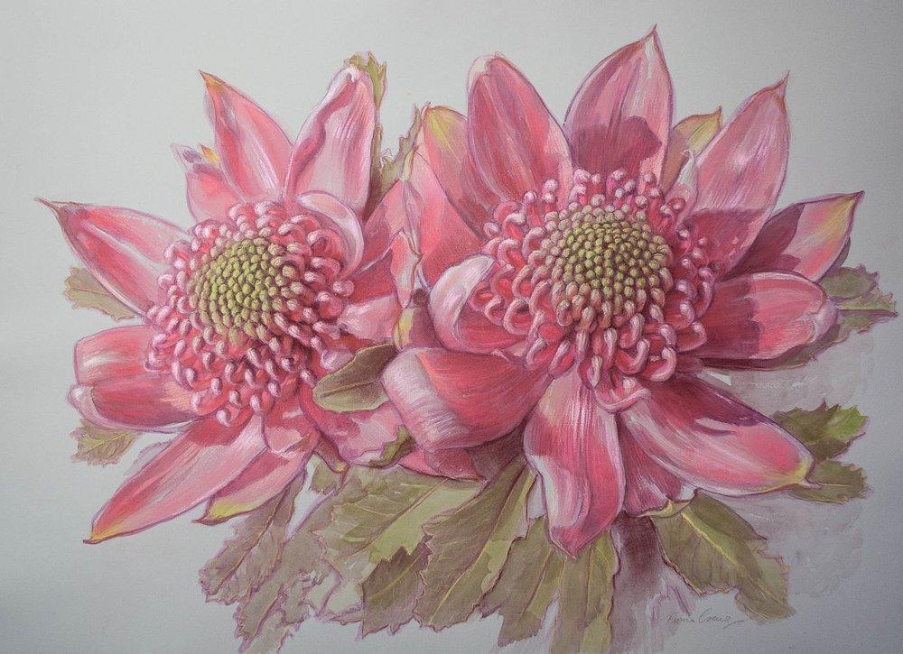 Two Pink Waratahs