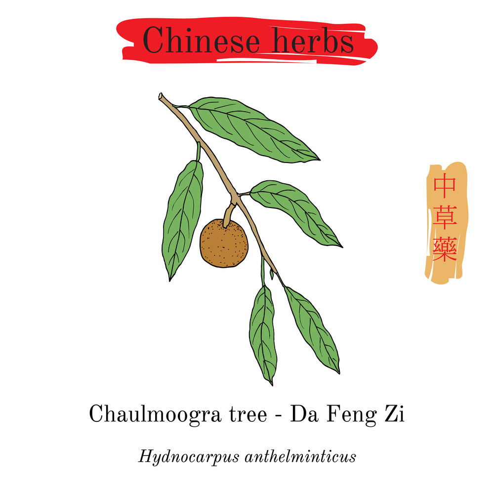 Chaulmoogra - Hydnocarpic Acid (HA)- kills many types of bacteria (even drug resistant) making it highly effective in acne treatmentsHelps clear up acne, eczema and psoriasis