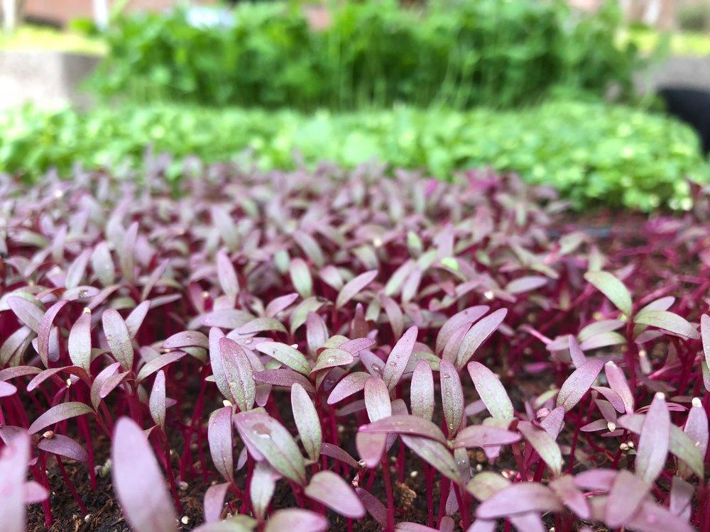 A close-up of Bass Farms' microgreens