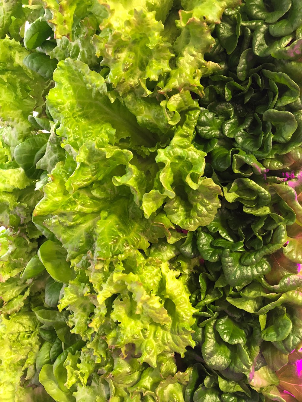 The Rally House container farm grows two acres of a variety of lettuce.