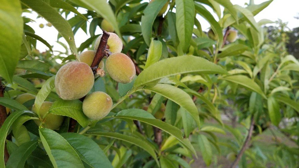 Young peaches at Rutland Farms in Tifton, Georgia