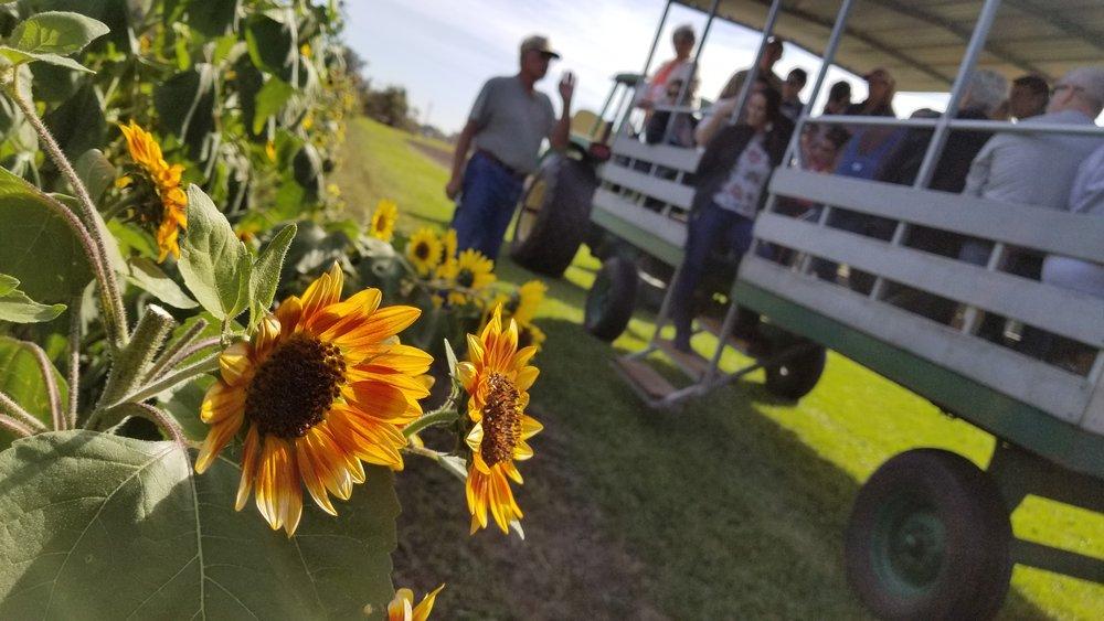 Stanley Pond Adventure Farm in Astatula, Florida is a U-pick sunflower farm