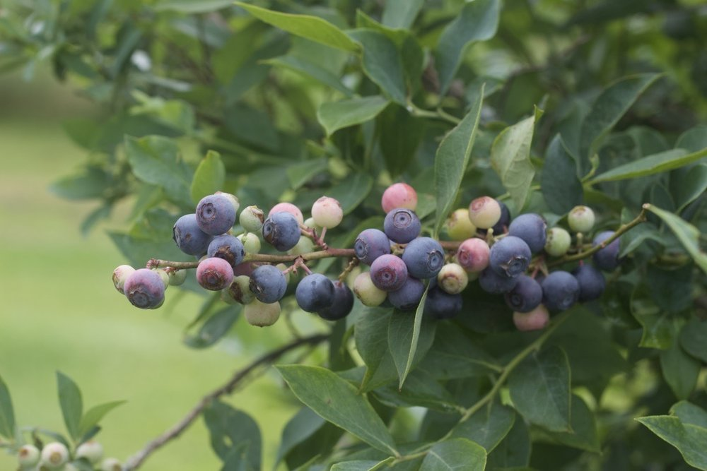 Laura Pallas - blueberries mixture of ready to u pick.JPG