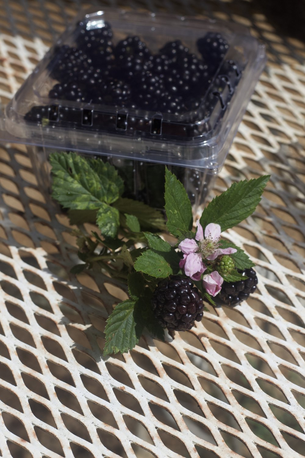 Blackberries | Pint clamshell $5
