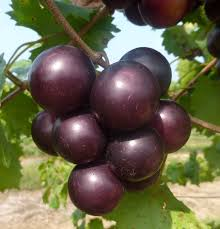 Laura Pallas - muscadine-source-brilliantnutrition.jpg