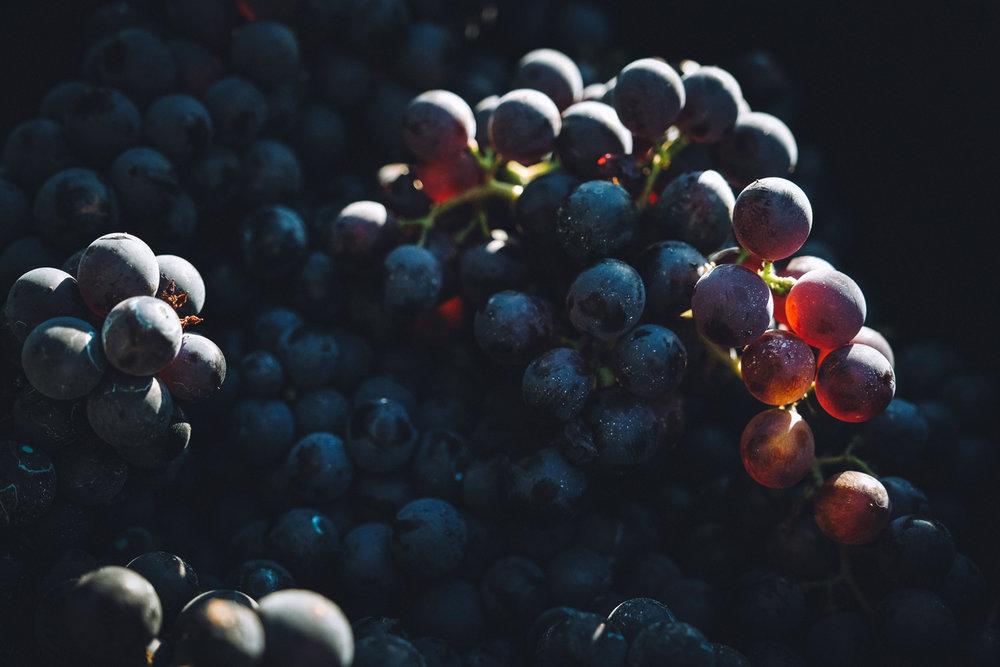 les Levures indigènes - Depuis le millésime 2018, nous avons la volonté de ne travailler qu'en levures indigènes sur toutes nos cuvées. Il nous semble en effet important de ne faire appel qu'aux levures naturellement présentes sur la pellicule de nos raisins afin de traduire le plus sincèrement possible l'esprit du lieu et de l'année pendant la fermentation.