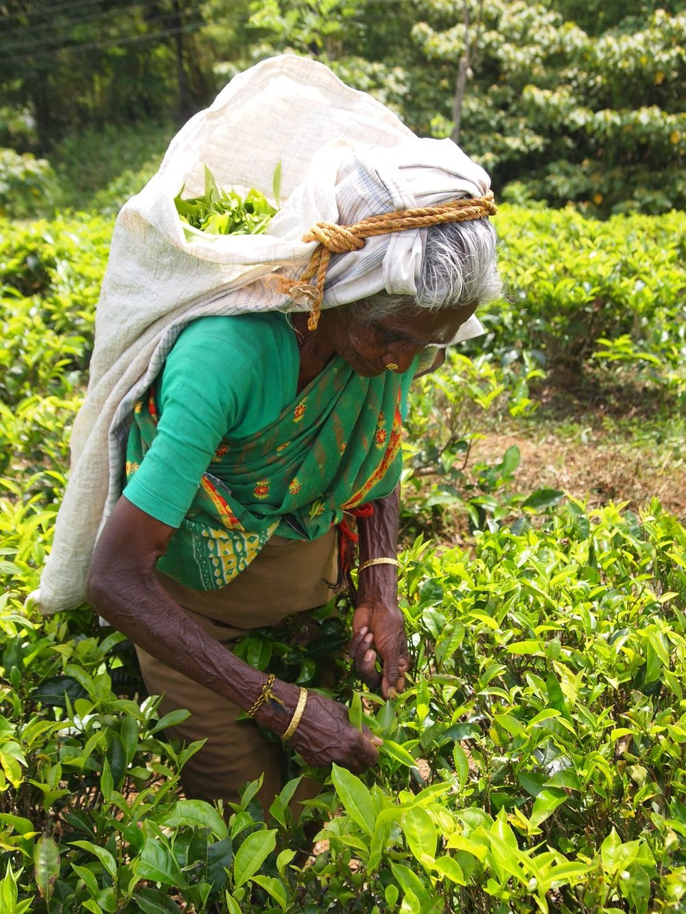 Tea picker.jpg
