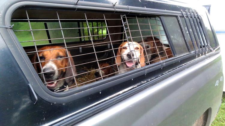Foxhounds in the back of a truck with open windows