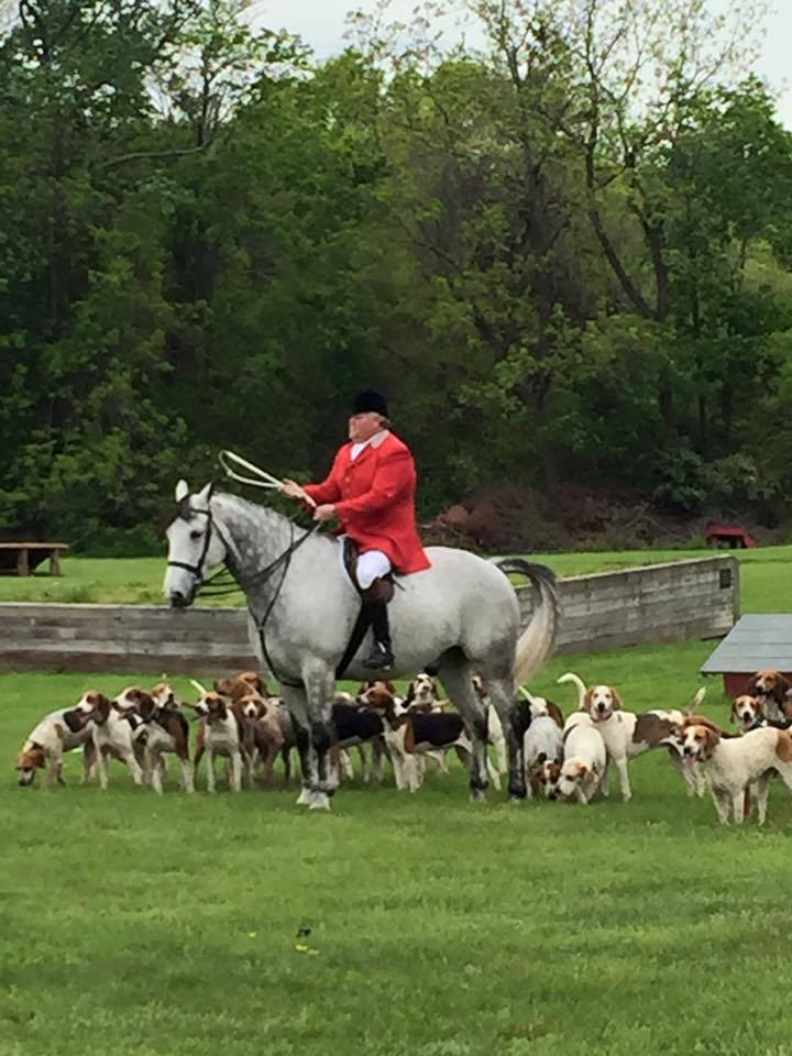 Pack of hunting hounds follow rider on horse during a foxhunt