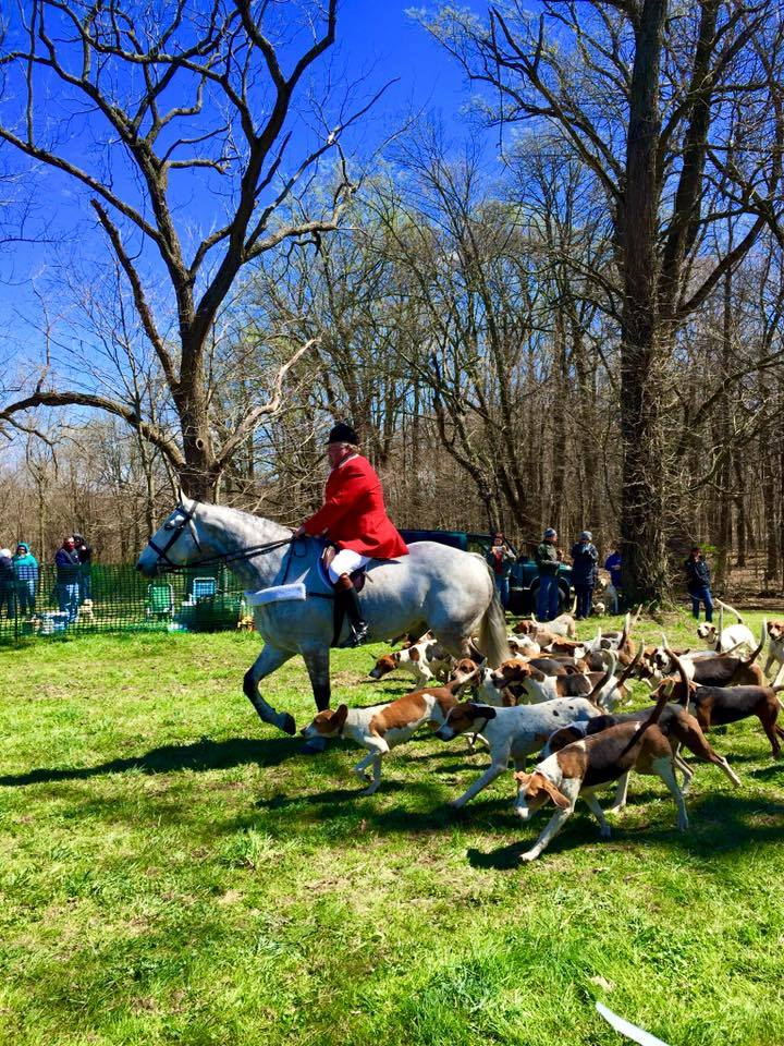 Pack of hounds hunting while following a rider on horse during a foxhunt
