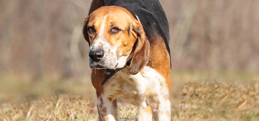 Hunting hound during a foxhunt in PA