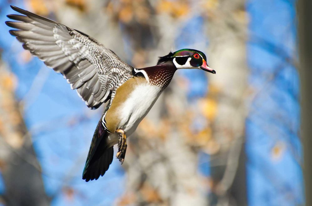 WoodDuck_web.jpg