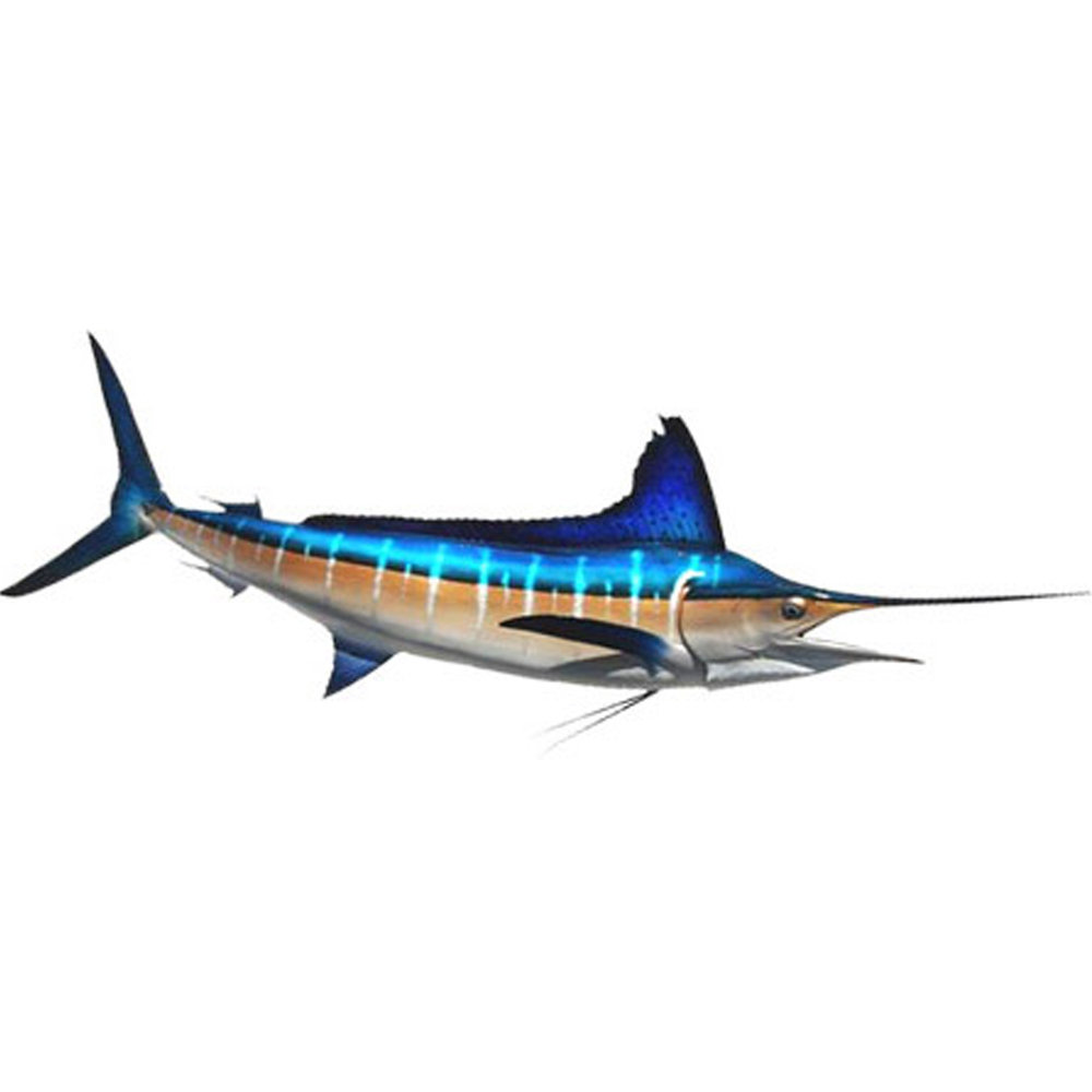 Blue Marlin  (Akura)  One of the ocean's top predators, preying on tuna and other smaller fish. Smaller ones are around 80kg but the largest one caught by line around Rarotonga was by Akura and weighed 380kg!