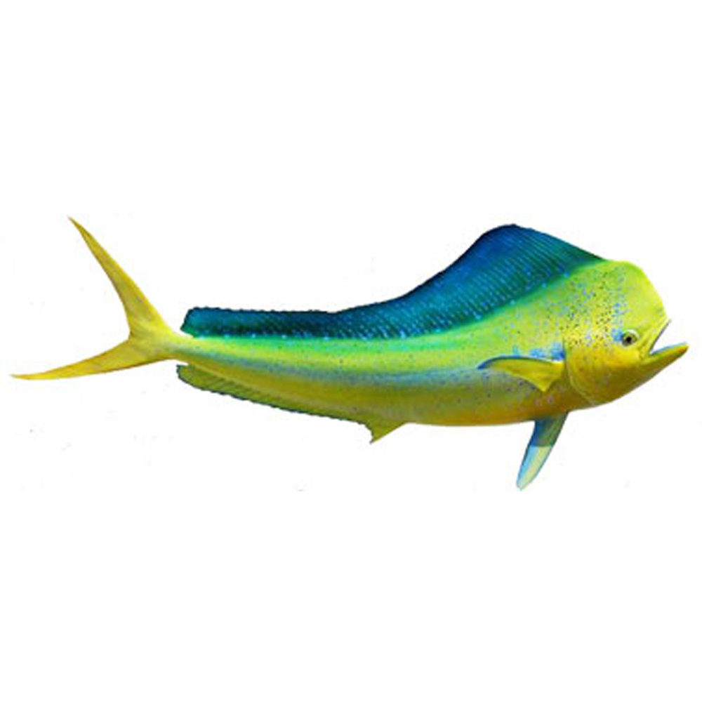 Mahi Mahi   (Ma'i ma'i)   Spectacular in colouring and aerial gymnastics once hooked, the Mahi mahi is also famous for its beautiful taste. It is truly one of the best eating fish in the ocean and also one of the fastest growing. Smaller ones are around 5kg but big bulls can reach over 25kg.