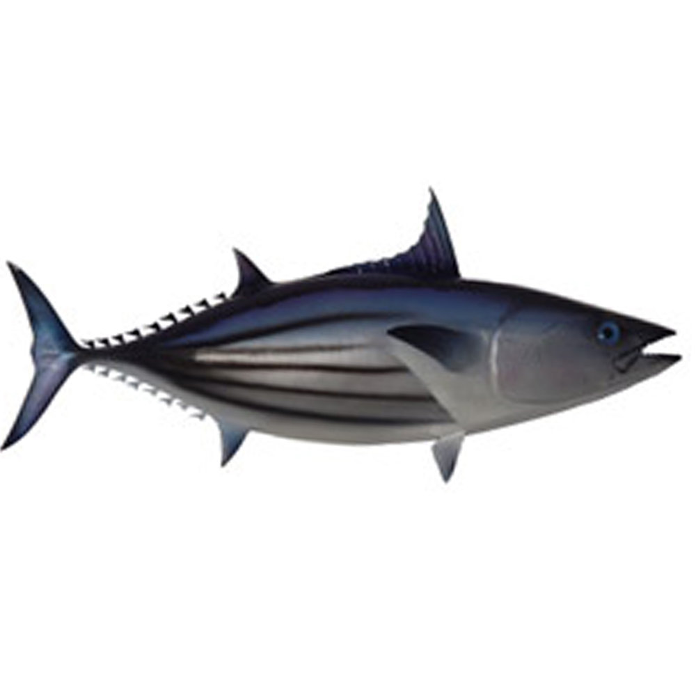 Skipjack Tuna  (Au'opo)  Generally smaller than the Yellowfin, school visit Rarotonga more often during the summer months.