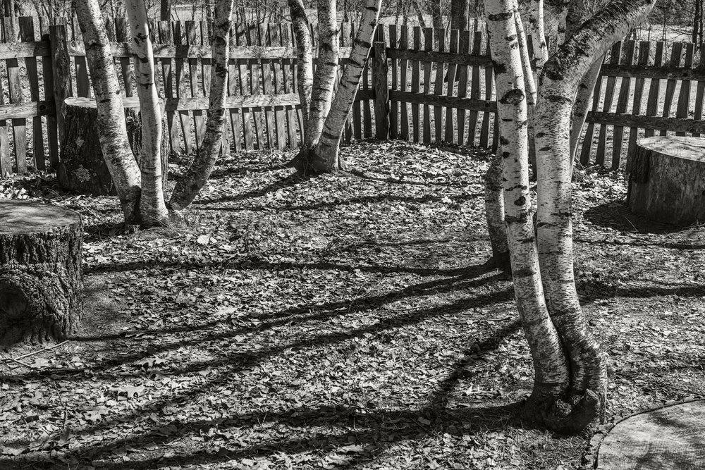 birch fence.jpg