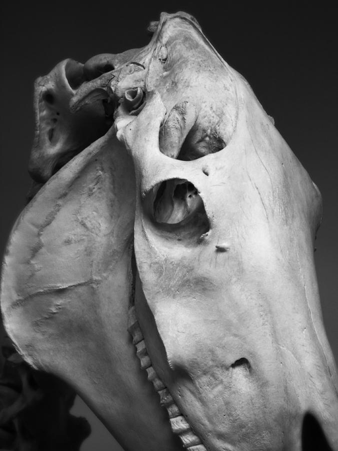 horse_skull_2653129459_o.jpg