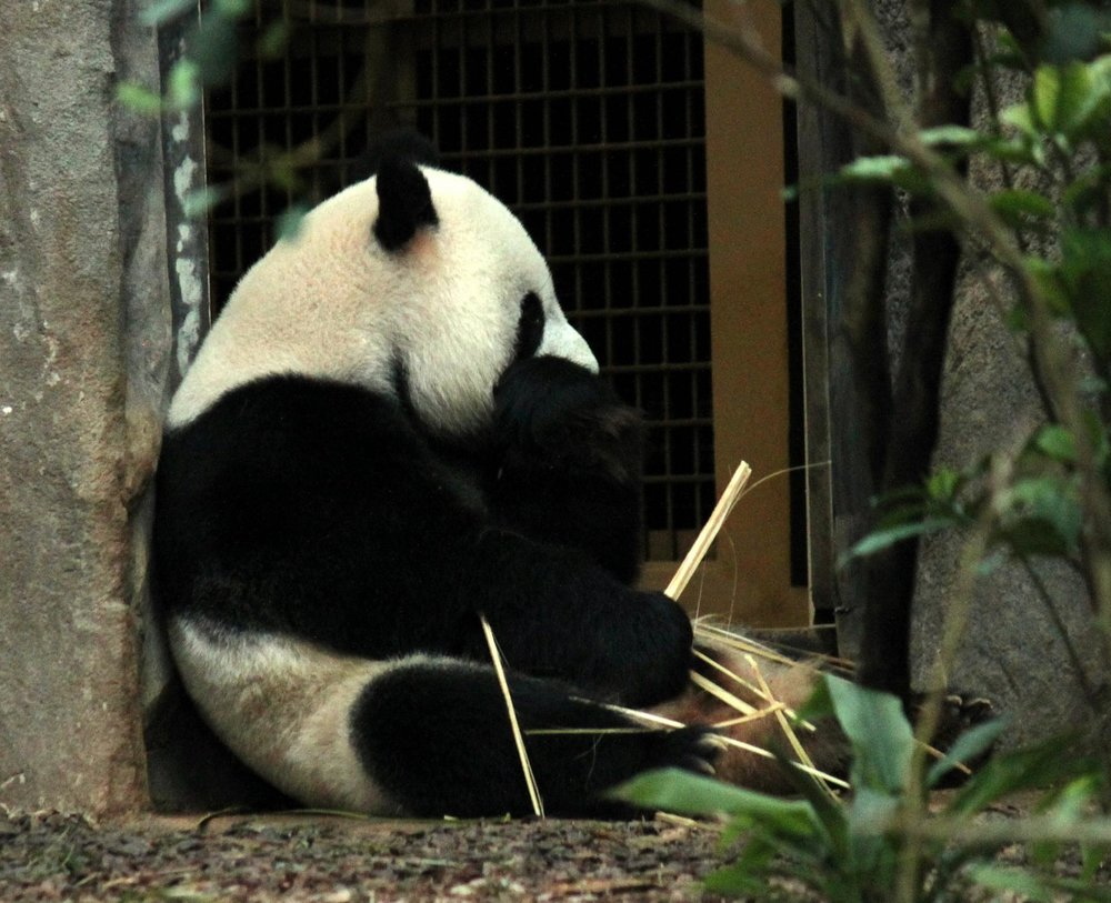 giant-panda-sitting-and-eating.jpg