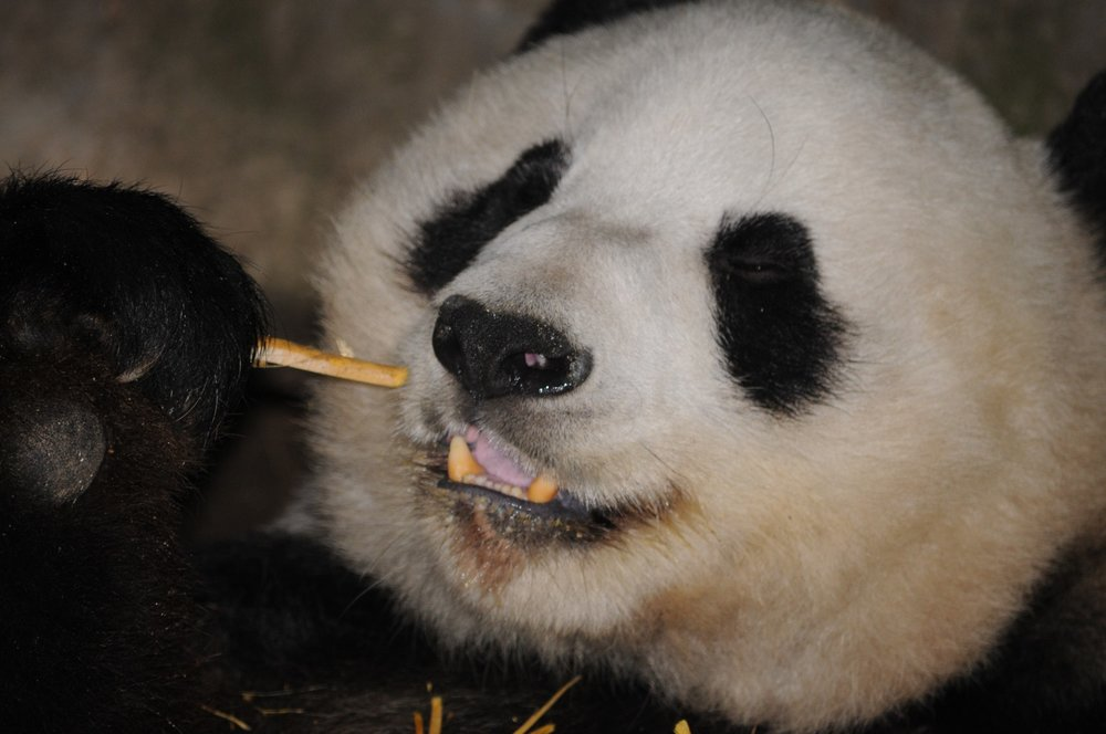 panda-bear-enjoying-bamboo.jpg