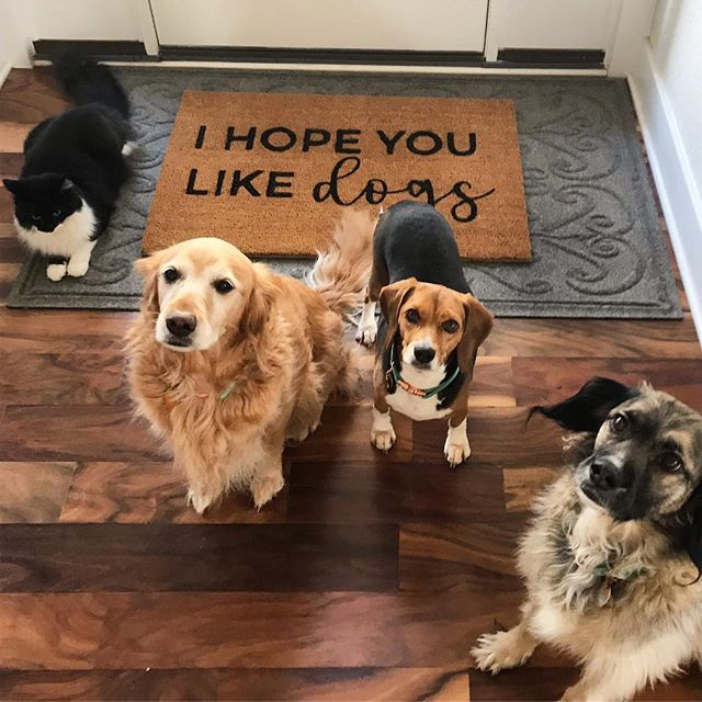 The new welcome mat arrived! Of course, I couldn't get the cat who thinks he's one of the dogs to get out of the picture! 🙄 . . . . . #onebigpack #ihopeyoulikedogs #foxandclover #welcomemat #itsfunnybecauseitstrue #dogstagram #tuxedocat #goldenretriever #rescuedogsofinstagram #goldensofinstagram #beaglesofinstagram #beagle #catstagram
