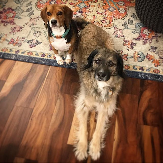 My babies! Fitz and Emme are never far apart. . . . . . . . #bestbuddies #theylookguilty #dogsofinstagram #dogstagram #rescuedogsofinstagram #beaglesofinstagram