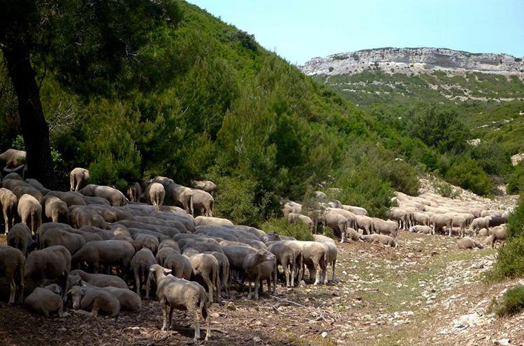 Transhumance-Provence-Alpilles-1024x768.jpg