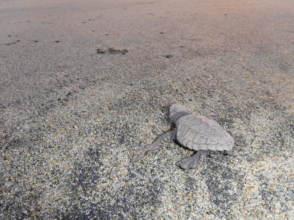 Helping sea turtle hatchlings with their return to the ocean.