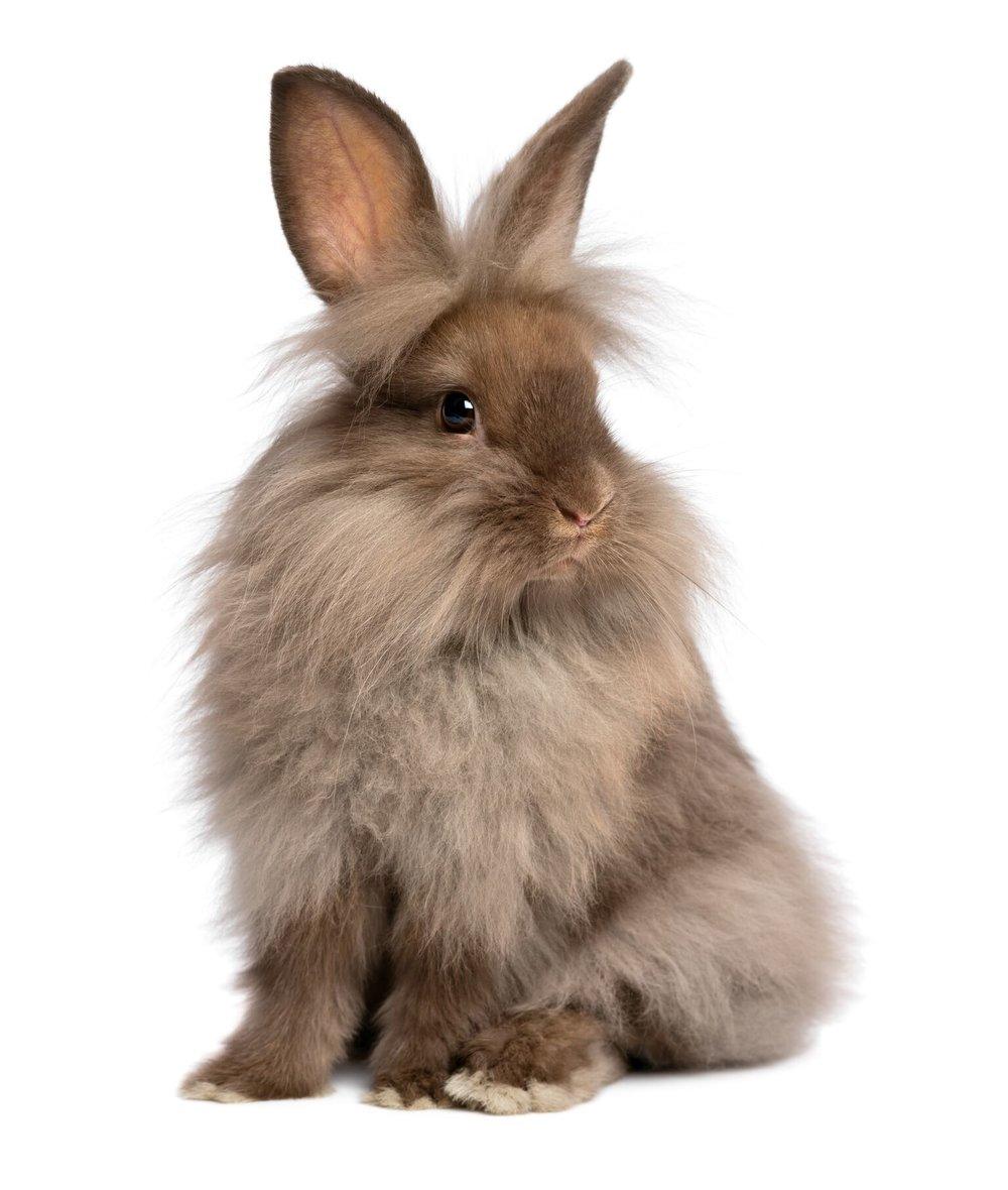 Young lionhead rabbit