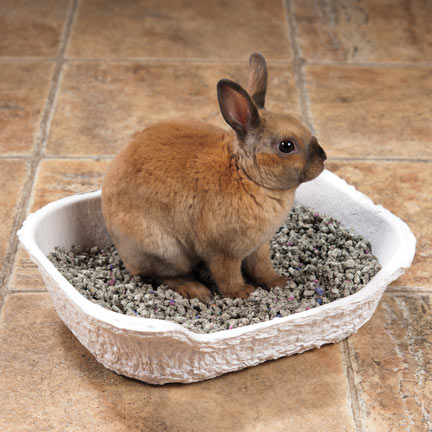 Young rabbit learning how to use his litterbox