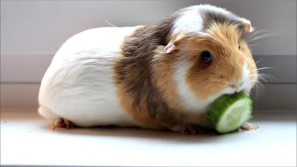 Guinea pig eating a cucumber
