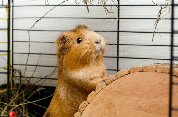 Guinea pig smiling in his cage